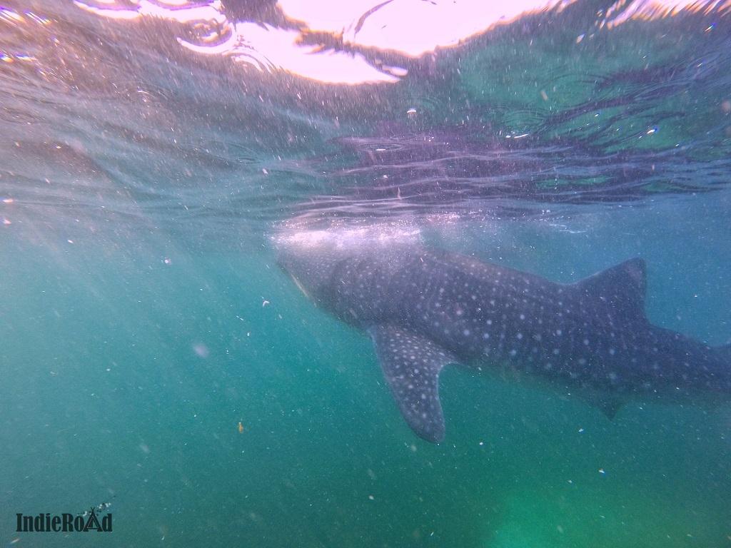 oslob filippine whale shark watching squali balena